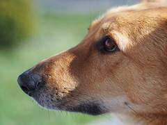 (LICHTRIS) Tags: portrait dog dogs nature animal olympus hund ooc mzuiko4518 em10ii em10markii
