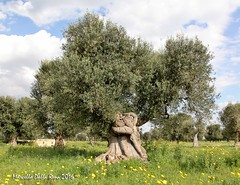 The lovers (MarcelloDR) Tags: italy tree italia country olive lovers campagna puglia olivetree taranto amanti innamorati