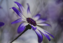 Senetti Flowers (CeriDJones) Tags: flowers blue plants macro closeup garden flora focus soft senetti