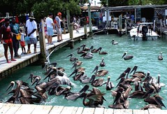Pelican Squadron (PelicanPete) Tags: people usa fish water birds docks fun restaurant boat spring close unitedstates bright action outdoor tourists shops handheld sunlit facetoface tarpon brownpelican exciting floridakeys wildbirds inthewild eyetoeye onthedocks feedingtarpon diamondclassphotographer flickrdiamond islamoradaflorida robbiesmarina pelicansquadron dmslair