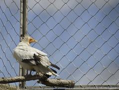 _DSC0415 (chris30300) Tags: france heron de pont parc oiseau camargue gau saintesmariesdelamer flamant provencealpesctedazur ornithologique