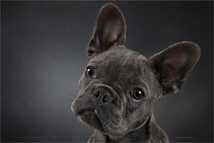 Jack (Marijke M2011) Tags: dog pet cute animal closeup studio indoor hond frenchbulldog huisdier patience petportrait greydog dogportrait studiolightning hondenportret