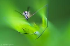 grievous (2) (jean-marie teyssier) Tags: insecte nevers macronaturebourgognenievrenevers