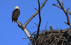 Adult Eagle and Eaglet. (kconnelly03) Tags: newjersey baldeagle nj eaglet