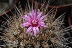 Neoporteria taltalensis (Orkel2012) Tags: neoporteria succulent cactus nikon 40 mm