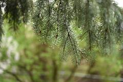 April 25, 2016 (Legodude:)277) Tags: tree wet minnesota outdoor raindrops spruce