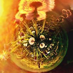 My playful world (zoey.s.franka) Tags: tiny planet dandelions