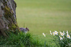 first off! (RCB4J) Tags: art nature mammal photography scotland squirrel wildlife running hiding cautious greysquirrel universityofglasgow sciuruscarolinensis guvs garscubeestate naturethroughthelens sigma150500mmf563dgoshsm ronniebarron rcb4j sonyilca77m2