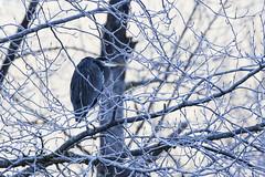 Blue Heron-2 (matthew.snyder54) Tags: winter river baldeagle eagles northcascades skagitriver