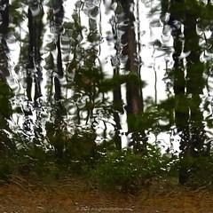 'Summer In Australia' - January, 2016 (aus.photo) Tags: trees summer nature wet rain pine rainyday australia canberra pinetrees act cbr australiancapitalterritory ausphoto