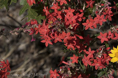 "Scarlet Gilia • <a style=""font-size:0.8em;"" href=""http://www.flickr.com/photos/63501323@N07/23775204324/"" target=""_blank"">View on Flickr</a>"