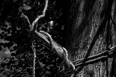 ET_TWISTED VINE_BW (wgcphoto) Tags: bw tree dead maine vine strangled twisted easterntrail