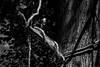 ET_TWISTED VINE_BW (wgcphoto) Tags: bw tree dead maine vine strangled twisted easterntrail