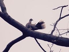 Pigeon (Snia Pereda) Tags: barcelona city nature birds pjaros ocells parcdemontjuc