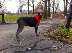 Happy New Year to all the squirrels! (VanaTulsi) Tags: dog weimaraner weim blueweimaraner vanatulsi blueweim