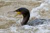 Cormorant (Shane Jones) Tags: bird nikon cormorant seabird 200400vr d7200