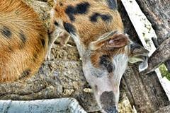 DSC_0029 (AF Art - Photography) Tags: animal pig porcos pigs animais porco