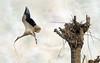 IMG_7455 the stolen stick (pinktigger) Tags: italy bird nature animal fly italia outdoor flight stick stork cegonha cigüeña friuli storch ooievaar fagagna ciconiaciconia cicogne cicogna oasideiquadris feagne allnaturesparadise