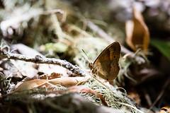 Le papillon en fort tropicale (zambaville) Tags: macro canon eos is papillon usm fort proxy faune tropicale f28l ef100mm lesquelin 5dsr