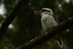 Kookaburra has time for a picture (Luke6876) Tags: bird animal wildlife kingfisher kookaburra australianwildlife laughingkookaburra