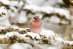 Buchfink 2 (rgr_944) Tags: bird animals tiere outdoor natur animaux vögel oiseau vogel canoneos60dcanoneos70d rgr944