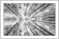 Entrücktes Wäldchen (Panasonikon) Tags: birken wald mzuiko918 bw himmel geäst composing lumixdmcg5 panasonikon weitwinkel