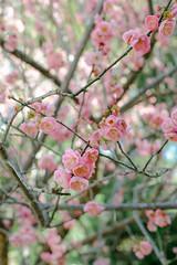 Japanese Flowering Apricot Trees (LisaDiazPhotos) Tags: flowers trees nature japanese day photos library huntington free lisa h apricot flowering diaz