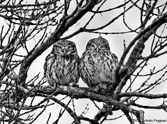 Mocho-galego (Athene noctua) (Arlindo Fragoso) Tags: wild naturaleza bird nature birds wings wildlife natureza birding natura aves birdwatching owls avian alcochete oiseaux avifauna birdwatcher athenenoctua ornitology mochogalego ornitologia biodiversidade arlindofragoso