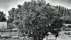#hdr #bw #ksa #saudiarabia #tree #car #old  # # # # # # (photography AbdullahAlSaeed) Tags: old bw tree car saudiarabia hdr ksa
