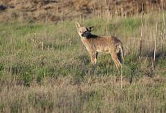 Stricken (kayucian) Tags: california coyote wetlands centralvalley mange canislatrans