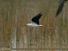 Black-winged Stilt (Himantopus himantopus) (gilgit2) Tags: pakistan birds fauna canon geotagged wings wildlife feathers sigma tags location species punjab category avifauna himantopushimantopus blackwingedstilthimantopushimantopus kallarkahar sigma150500mmf563apodgoshsm imranshah canoneos70d kallarkhar gilgit2