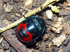 Jewel-bug nymph Choerocoris paganus (Simon Grove (TMAG)) Tags: australia tasmania insecta hemiptera taroona scutelleridae choerocoris tasmanianmuseumandartgallery tmagzoology february2016