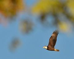 F4K_4885 (68photobug) Tags: bird birds closeup nikon eagle florida sigma aerial swans lakeland flyover americanbaldeagle polkcounty lakemorton 150500mm d7000 68photobug