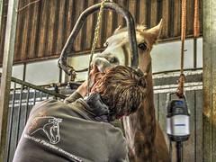 P1290094 (gill4kleuren - 11 ml views) Tags: horses dentist haflinger tandarts 2015 hengst