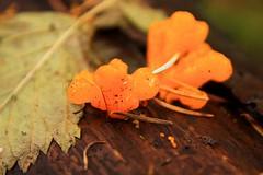 151231-138 (waferboard) Tags: urban orange forest surrey fungus lichen sunnyside