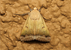 Ophiusa mejanesi (Variable Drab) (Nick Dean1) Tags: insect southafrica moth insects lepidoptera arthropods animalia arthropoda krugernationalpark arthropod hexapod olifants insecta hexapods hexapoda ophiusamejanesi variabledrab
