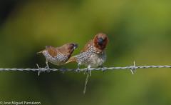 12-SAN VALENTIN!!Que no  te venda amor sin espinas dice Sabina, pero yo creo que viene hasta con alambres de pas includo! El amor disminuye en el mundo, los comercios incrementan las ventas  y las muchachas estan preocupadas pues cada da hay menos bod (Cimarrn Mayor !!!7,000.000 DE VISITAS, GRACIAS!!) Tags: naturaleza bird fauna libertad dominicanrepublic pssaro ave oiseau libre vogel montaas caribe uccello panta ptak fgel lintu repblicadominicana repdom  dominicano ptica  quisqueya  cotu introducido ptek ordenpasseriformes libertee cimarrnmayor canoneos7dmarkii 7dmarkii josmiguelpantalen canon7dmarkii telefoto700mm familiaestrildidae generolonchura nombrecientficolonchurapunctulata nombreinglesscalybreastedmunia statusresidentereproductorintroducido parejadeciguitapechijabao lugardecapturafantino