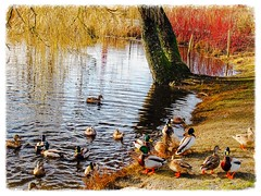 ~ Meet the Ducks ~ (Brenda Boisvert <b>Off Sick</b>) Tags: water reflections pond ducks mallards willowtree wigeons