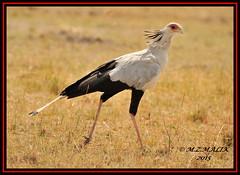 SECRETARY BIRD (Sagittarius serpentarius).....MASAI MARA......SEPT 2015 (M Z Malik) Tags: africa nikon kenya wildlife safari kws masaimara d3x exoticafricanbirds exoticafricanwildlife 200400mm14afs
