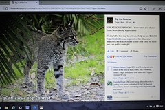 BigCatRescue.org - contest (not a box brownie) Tags: rescue usa cats canada animal animals cat kitten feline tiger united lion kittens competition leopard jungle tigers lions pumas cheetah panthers jaguar liger puma bobcat bengals wildcat vote cougar bengal sanctuary lynx ocelot serval caracal cheetahs cougars savannahs bobcats wildcats leopards servals tigrina ocelots margay jaguarundi pixiebobs statesofamerica guigna chausies pnther safaricats margays