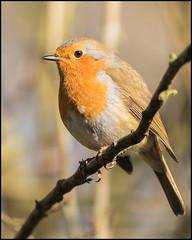 Robin (John R Chandler) Tags: uk bird robin erithacusrubecula unitedkingdom coventry europeanrobin westmidlands warwickshire thrush brandonmarsh warwickshirewildlifetrust