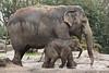 Asiatic elephants on a rainy day (K.Verhulst) Tags: elephant rotterdam blijdorp elephants blijdorpzoo olifanten diergaardeblijdorp sunay asiaticelephants aziatischeolifanten