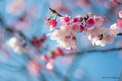 DSC00008 (sigma9988) Tags: cherry 50mm blossom bokeh sakura f18   oreston  gorlitz meyeroptik