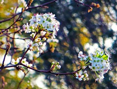 spring (Jo Borlan) Tags: flowers tree spring cluster blossoms pear