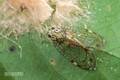 Net-winged planthopper (Nogodinidae) - DSC_6441 (nickybay) Tags: maliaubasin maliau basin sabah malaysia macro netwinged planthopper nogodinidae borneo