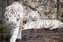 DSC_0220 (Noemi D.Soos) Tags: white zoo hungary tiger nelson bengal mandela sst