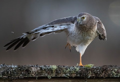 Northern Harrier (male) (Peter Bangayan) Tags: nature birds canon washington kent wildlife wa raptors birdsofprey harrier northernharrier ef500mmf4lisusm