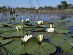 () - (Nymphaea candida)   ,   (Nymphaeaceae).  28  2009   - ,   (   ). Russia, Volgograd region (Igor Borisovich Abramov) Tags: flowers plants lake green nature beauty photoshop flora russia 2009 redbook     nymphaeaceae        nymphaeacandida     volgogradregion