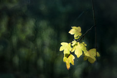 autumn plant tree leaves backlight october foliage... (Photo: chrisotruro on Flickr)