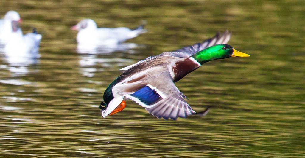 Speed Ducks Dublin